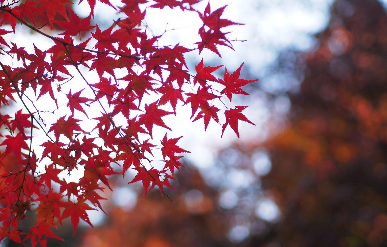 Photo wallpaper autumn, leaves, macro, branches, nature, glare, Tree, blur, red, maple