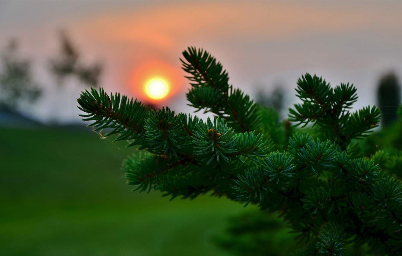 Photo wallpaper macro, sunset, needles, spruce, blur, needles, coniferous