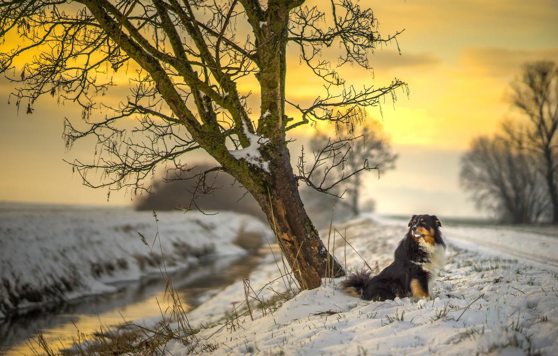 Photo wallpaper road, river, sunset, dog, winter, snow, tree, sun, sunlight, australian shepherd, canine