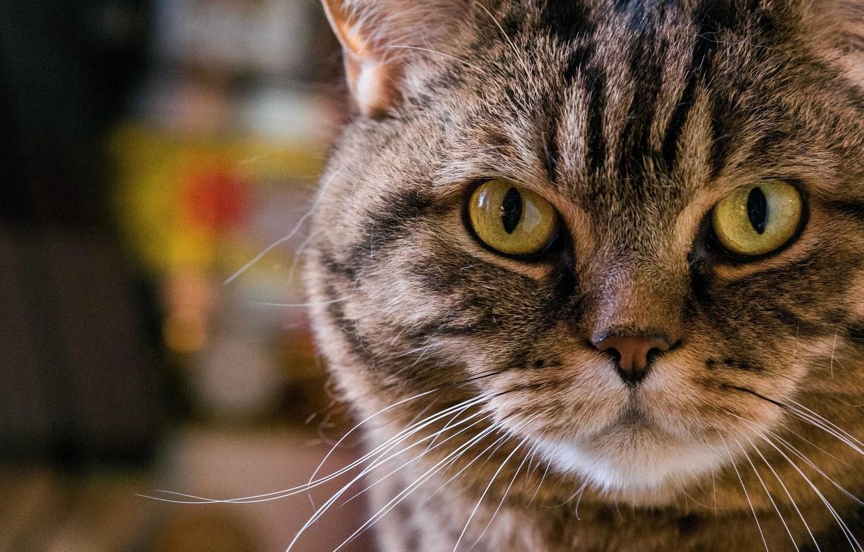 Photo wallpaper cat, cat, mustache, look, face, portrait