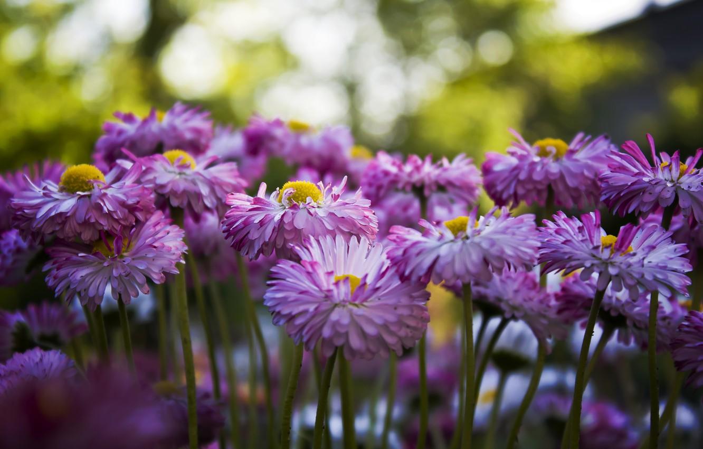 Photo wallpaper Flowers, Garden, Summer, Chrysanthemum
