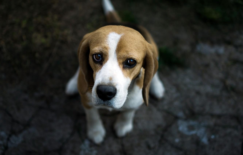 Photo wallpaper look, each, dog, Beagle