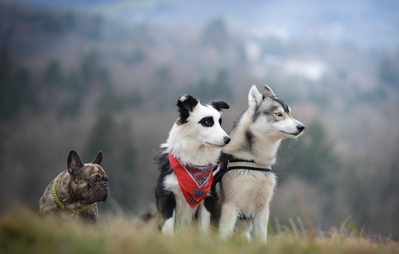 Photo wallpaper dogs, trio, husky, French bulldog, the border collie, Trinity
