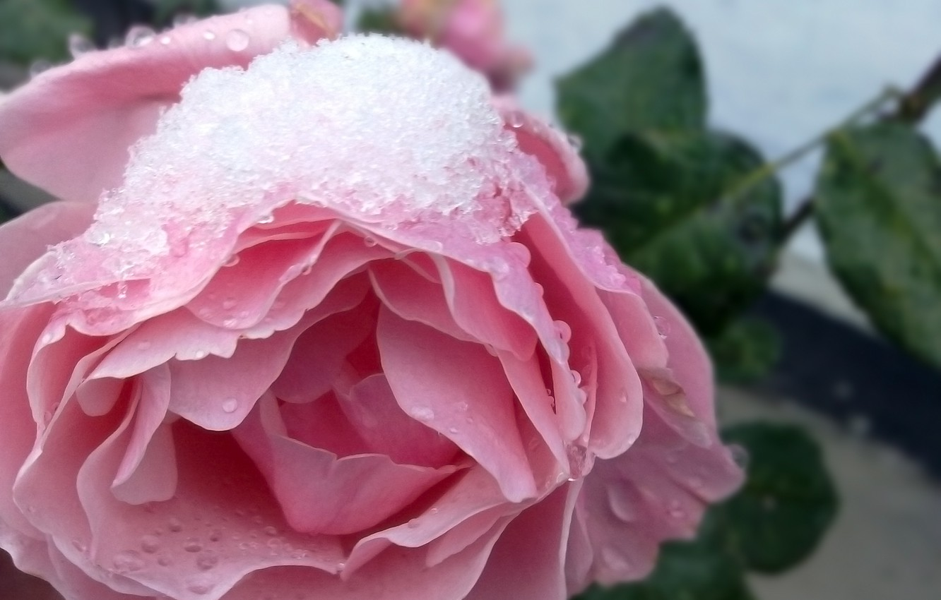 Photo wallpaper winter, snow, flowers, nature, roses
