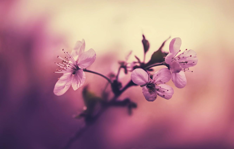 Photo wallpaper flowers, cherry, background, branch, petals, stamens, pink