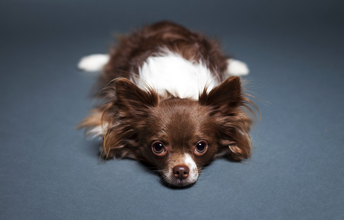 Photo wallpaper look, background, Dog, floor, lies, Chihuahua