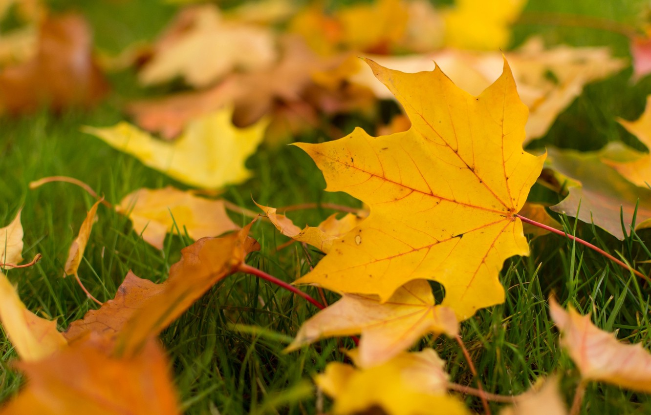 Photo wallpaper autumn, leaves, macro, background, widescreen, Wallpaper, yellow leaves, leaf, wallpaper, leaves, leaf, widescreen, leaves, background, ...