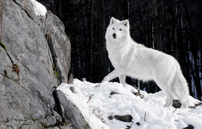 Photo wallpaper winter, forest, white, snow, nature, stones, wolf, predator, wolf