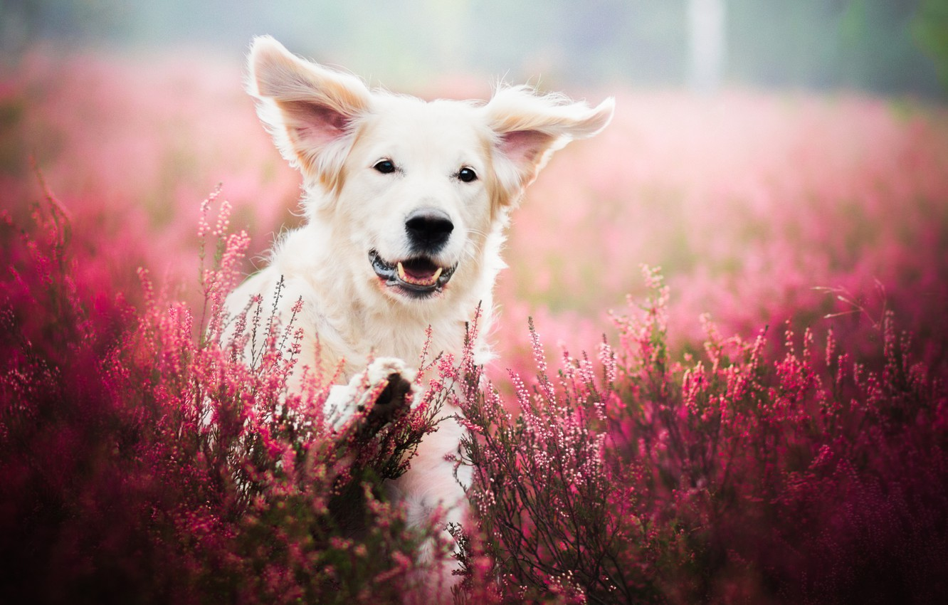 Photo wallpaper field, flowers, nature, animal, dog, lavender, dog