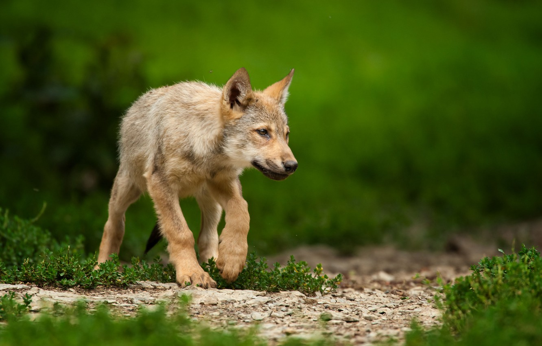 Photo wallpaper grass, puppy, the cub