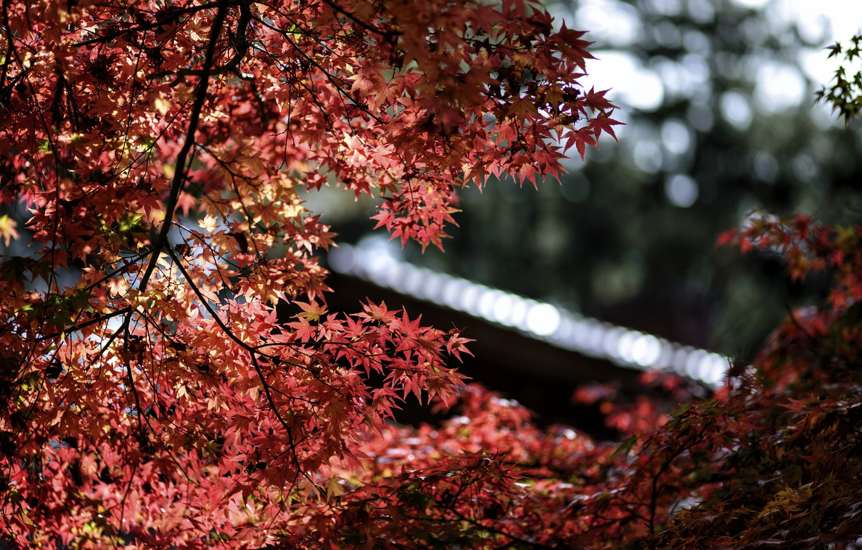 Photo wallpaper leaves, macro, glare, focus, Tree, blur, red, maple, bokeh