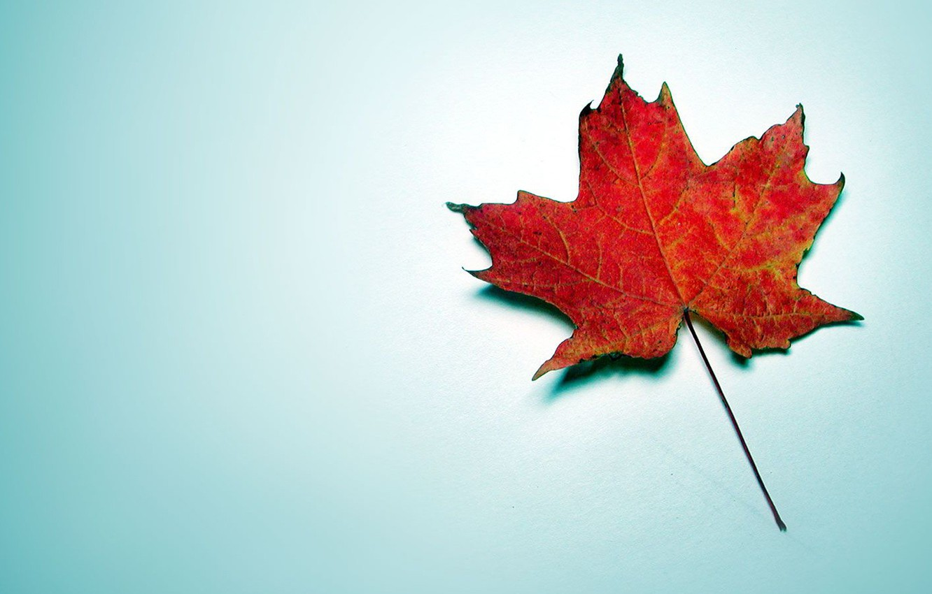 Photo wallpaper red, blue background, maple, autumn leaf