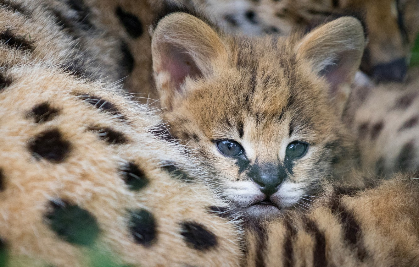 Photo wallpaper cub, kitty, face, wild cat, Serval