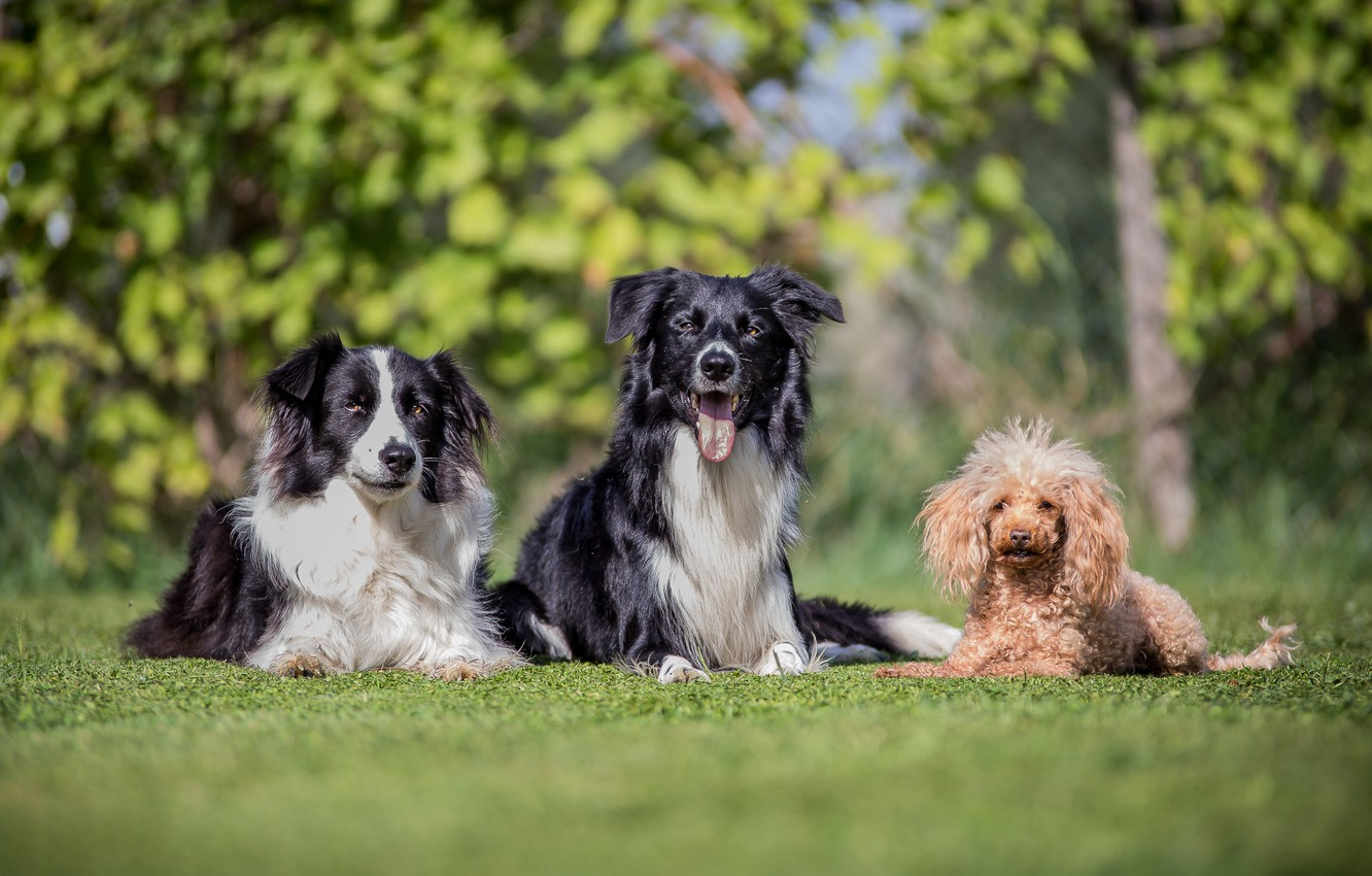 Photo wallpaper dogs, trio, friends, poodle, bokeh, the border collie, Trinity