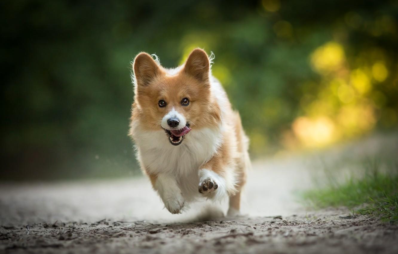 Photo wallpaper joy, mood, dog, running, walk, Welsh Corgi