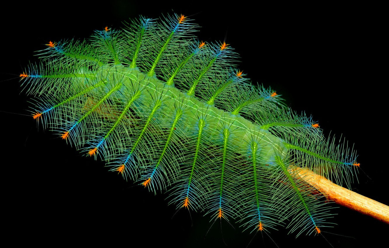 Photo wallpaper caterpillar, nature, branch, insect