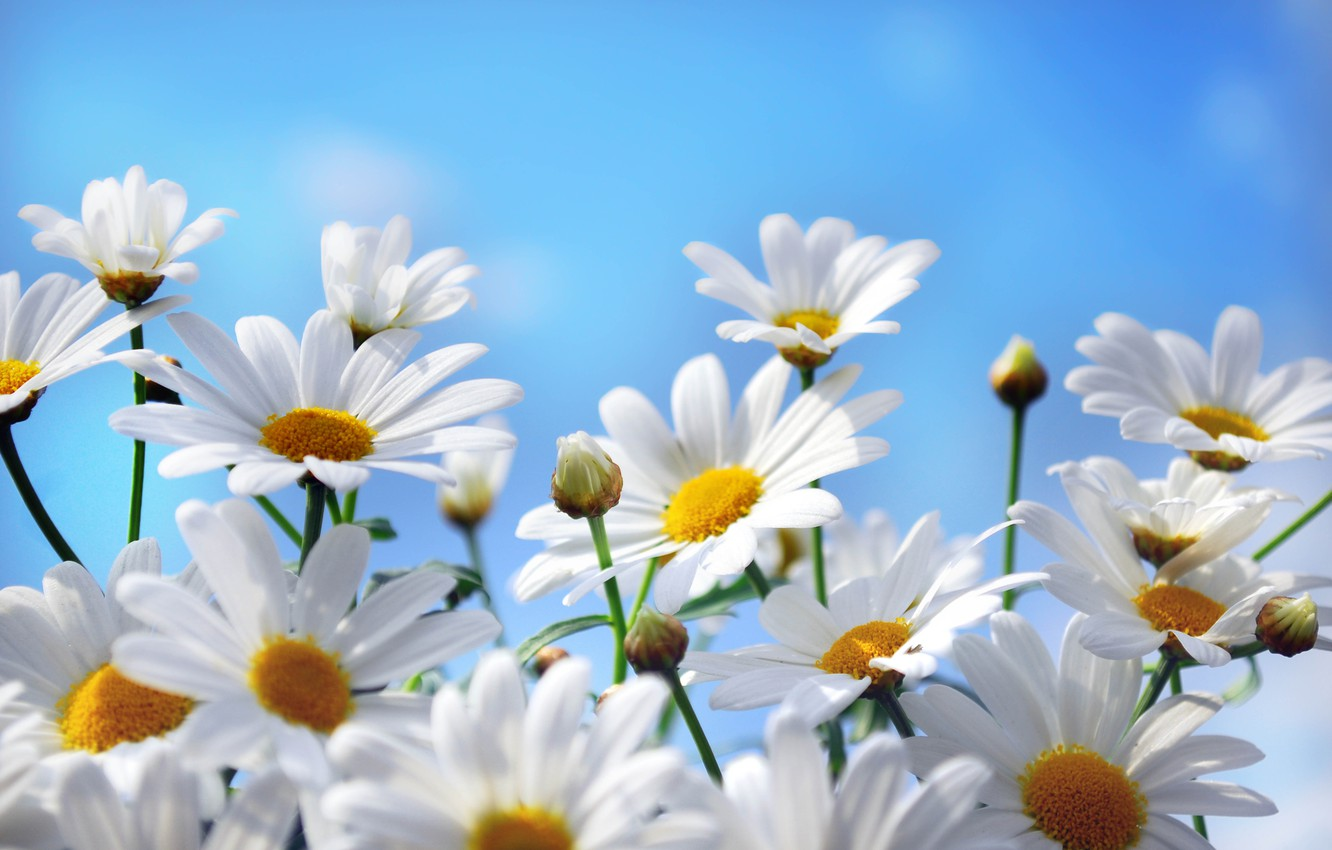 Photo wallpaper the sky, flowers, nature, chamomile, petals