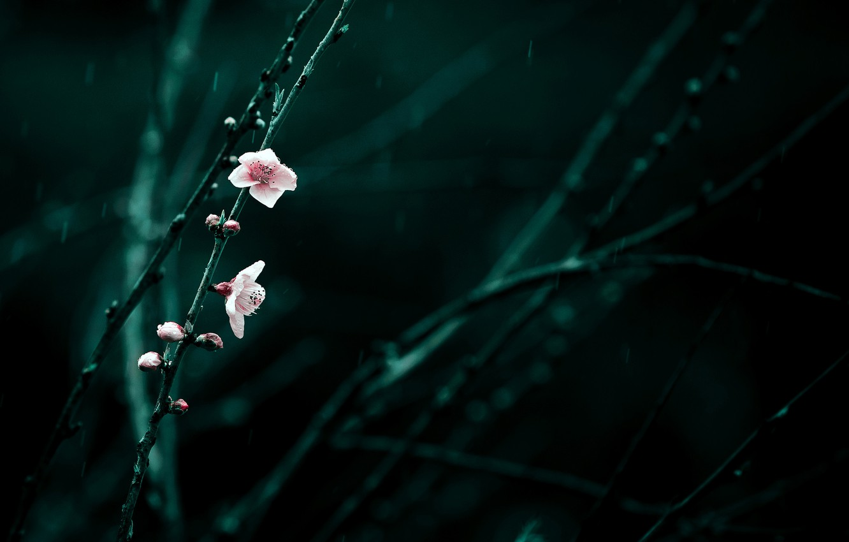 Photo wallpaper flowers, branches, cherry, rain, spring, pink, flowering