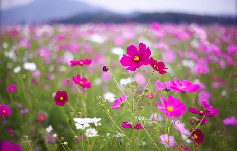 Photo wallpaper field, macro, flowers, petals, blur, pink, white, raspberry, bokeh, Kosmeya