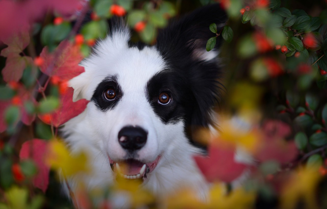 Photo wallpaper autumn, look, face, leaves, berries, dog, bokeh, The border collie