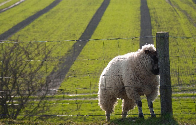 Photo wallpaper field, the fence, sheep, nice, sheep, sweat