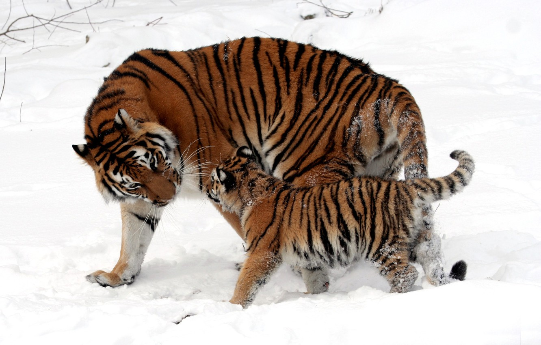 Photo wallpaper winter, snow, strips, cats, wool, baby, fur, color, walk, kitty, tigers, cub, mom, tigress, wild