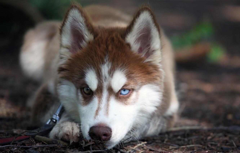 Photo wallpaper eyes, look, dog, husky