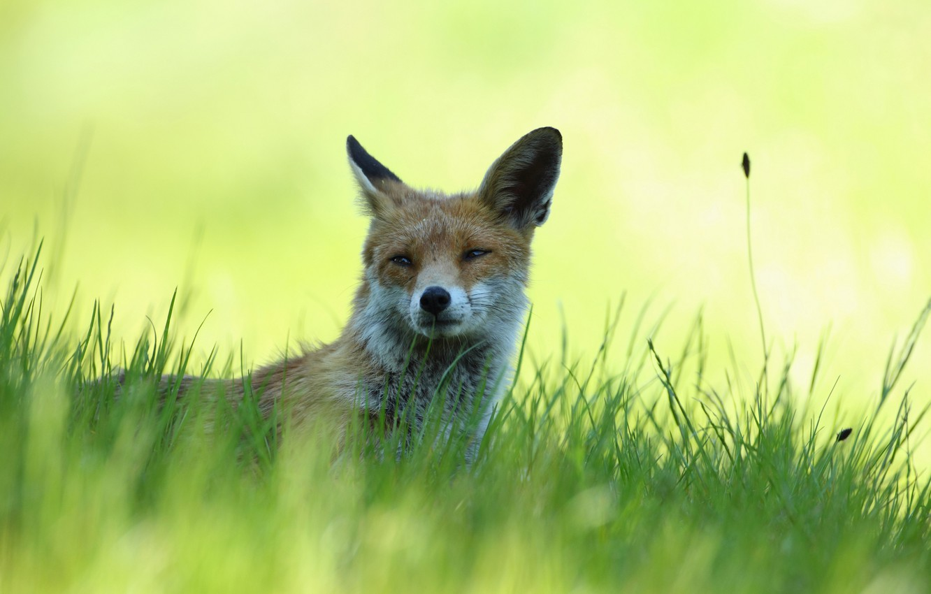 Photo wallpaper grass, stay, shadow, Fox, lies, red