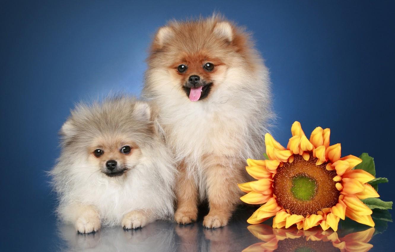 Photo wallpaper sunflowers, flowers, breed, Spitz.dog