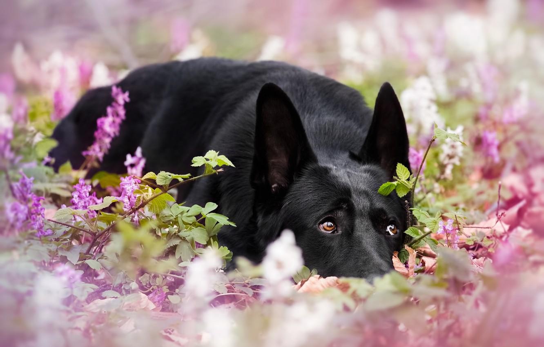 Photo wallpaper dog, flowers, German shepherd, bokeh