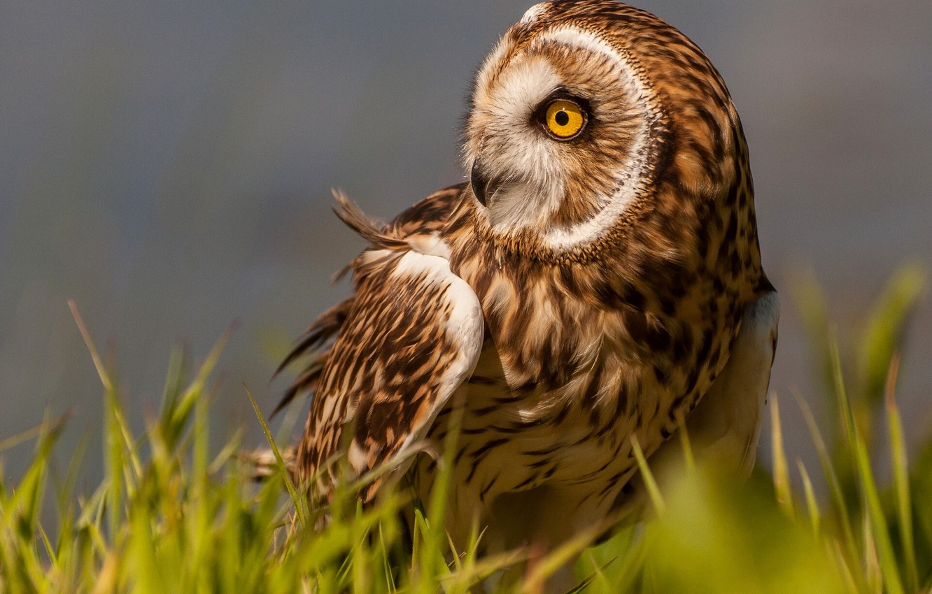 Photo wallpaper grass, owl, bird, Short-eared owl