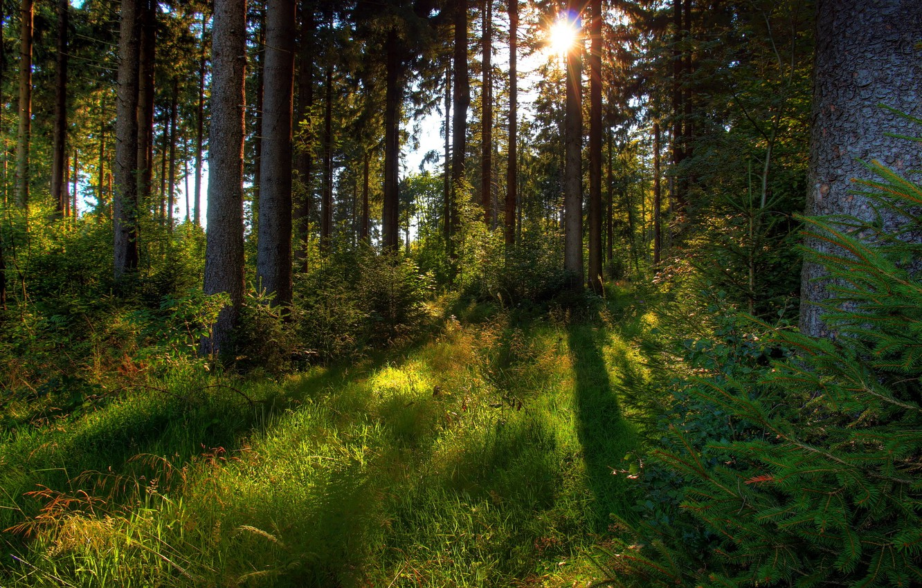 Photo wallpaper forest, grass, the sun, trees, nature