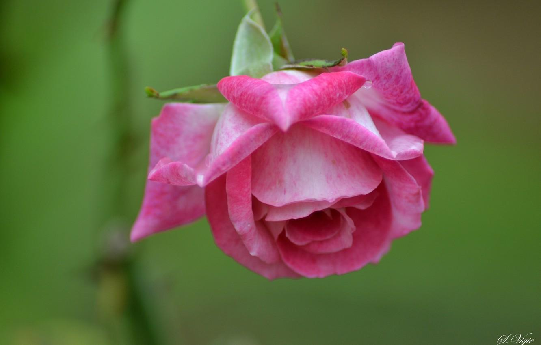 Photo wallpaper pink, rose, petals, Bud, rose, flowering, flower, pink, petals, bloom