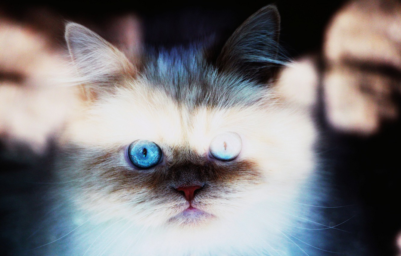 Photo wallpaper cat, animals, eyes, cat, face, the sun, rays, light, cats, background, widescreen, Wallpaper, wallpaper, face, …