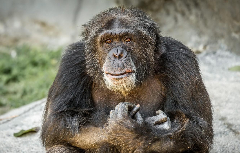 Photo wallpaper look, monkey, Chimpanzee