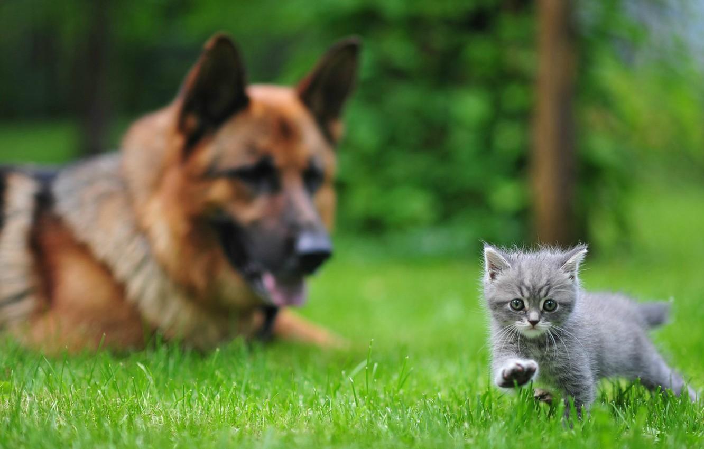 Photo wallpaper grass, kitty, dog, Animals, Ovcharka