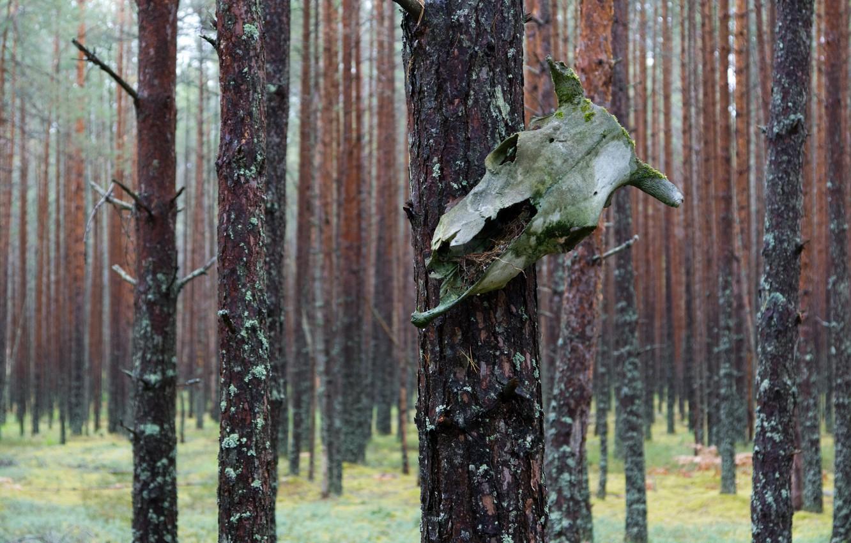 Photo wallpaper forest, rain, skull, pine