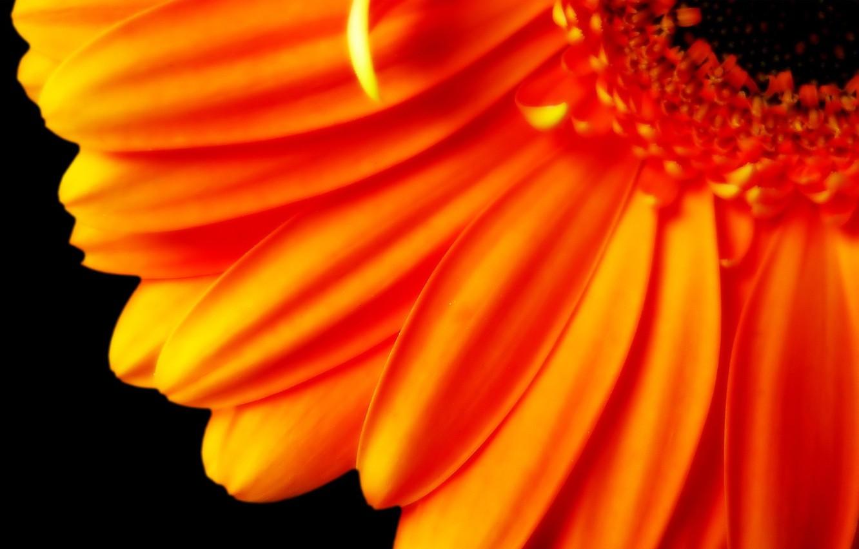 Photo wallpaper orange, Petals