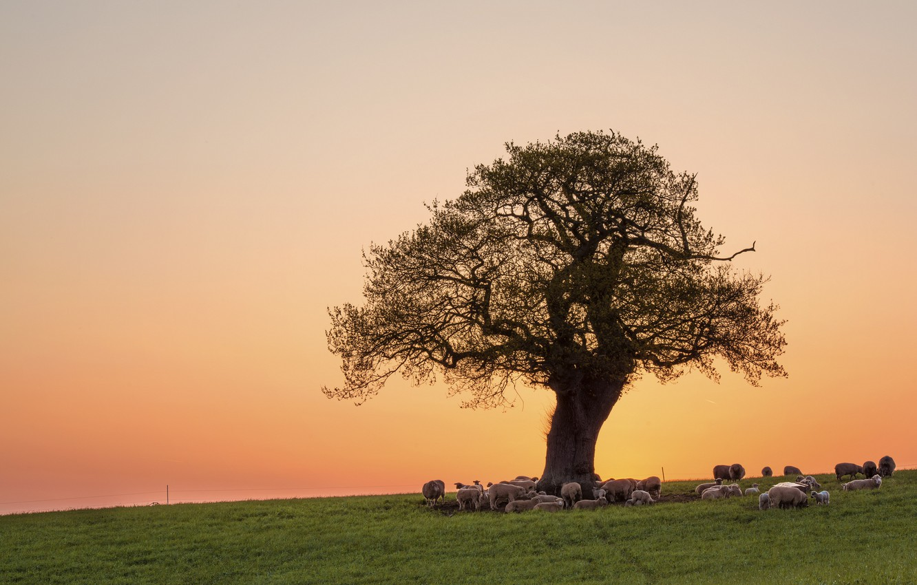 Photo wallpaper field, the sky, grass, sunset, tree, sheep, pasture, the herd, crown, on vacation, pink evening