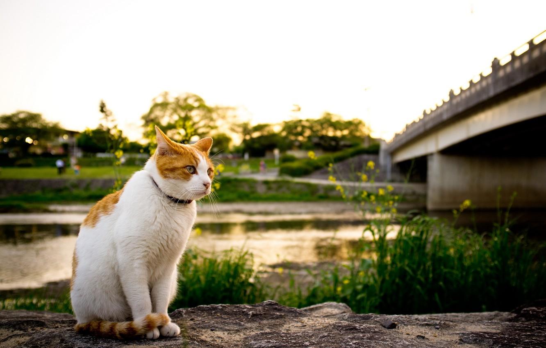 Photo wallpaper cat, bridge, river
