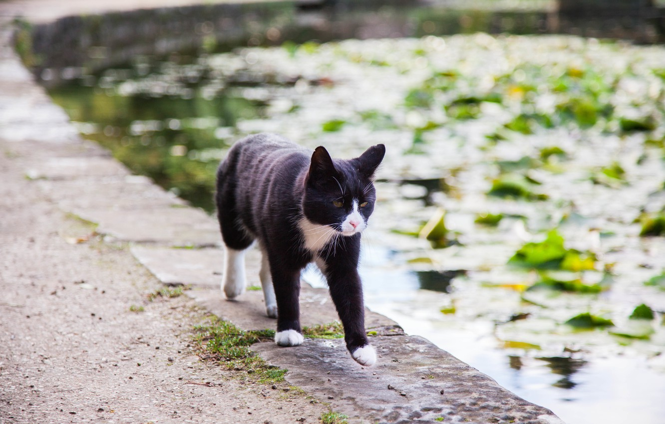 Photo wallpaper cat, water, pond, is