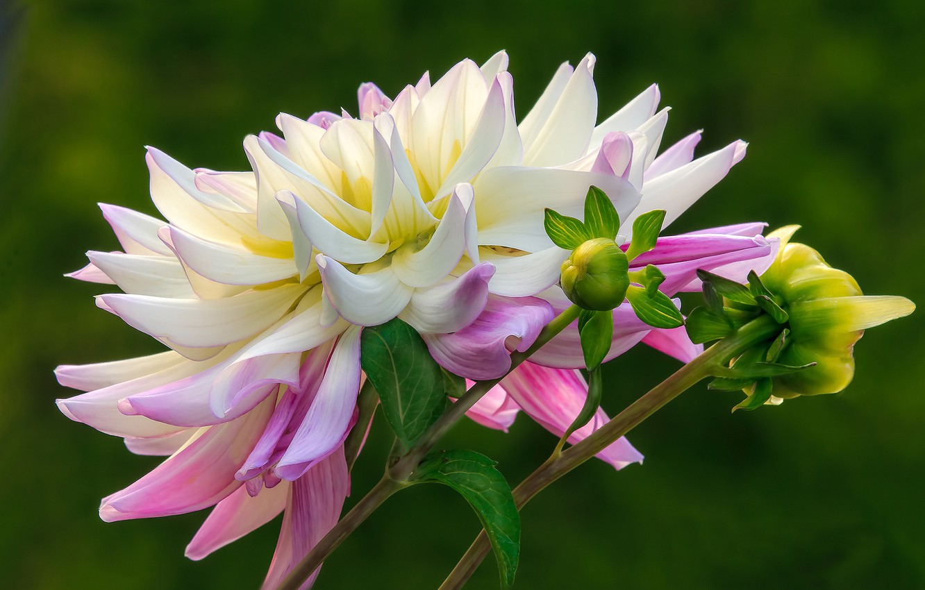 Photo wallpaper flower, background, buds, Dahlia, pink and white