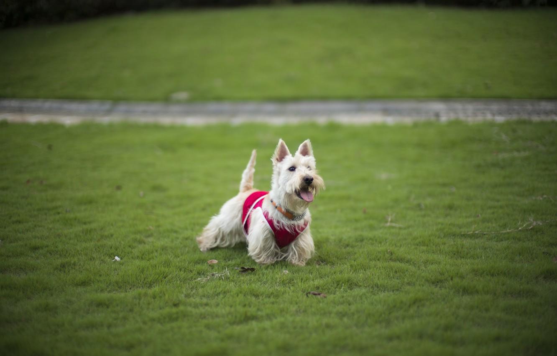 Photo wallpaper grass, each, dog, grass, lawn, dog, dog, Terrier, lawn, friend, terrier