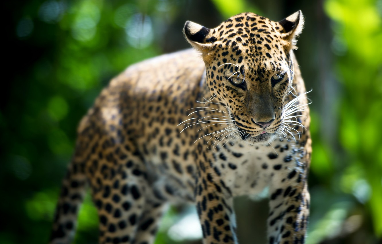 Photo wallpaper beast, Leopard, Singapore Zoo