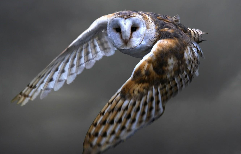Photo wallpaper look, flight, owl, wings, feathers, Bird, stroke, the barn owl