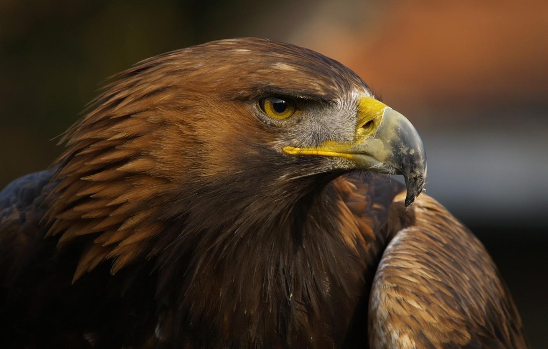 Photo wallpaper bird, eagle, beak