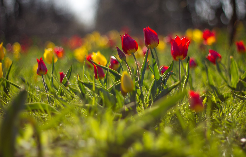 Photo wallpaper flowers, blur, tulips