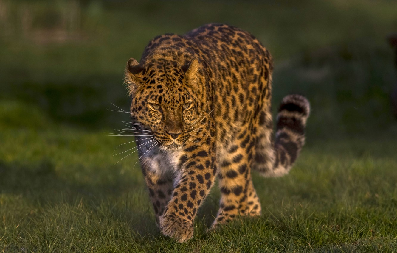 Photo wallpaper leopard, wild cat, handsome, The far Eastern leopard, The Amur leopard