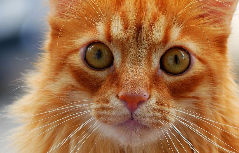 Photo wallpaper cat, cat, mustache, look, muzzle, red