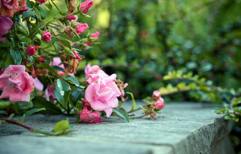 Photo wallpaper flowers, Bush, roses
